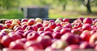 produzione di mele